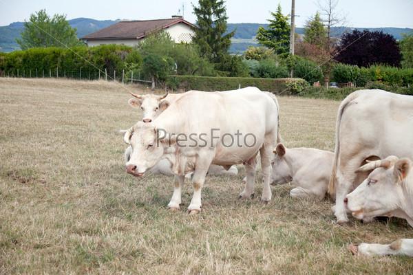 Фотография на тему Белые коровы на лугу