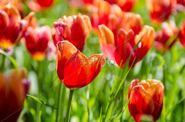 Фотография на тему Поле тюльпанов в яркий летний день
