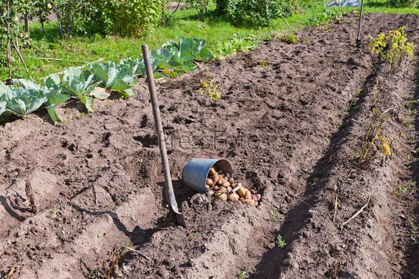 Фотография на тему Свежий картофель на поле в Новгородской области России