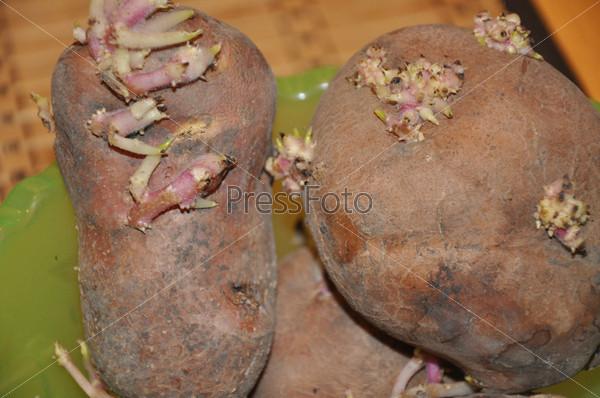 Фотография на тему Проросшая картошка