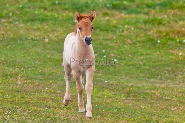 Фотография на тему Коричневый жеребенок на зеленом поле