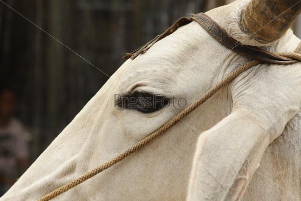 Индийская белая корова на улице в Дели