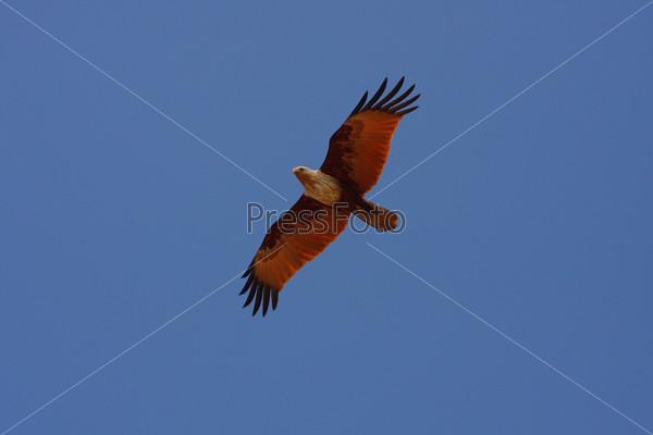 Птица летит в синем небе в Индии