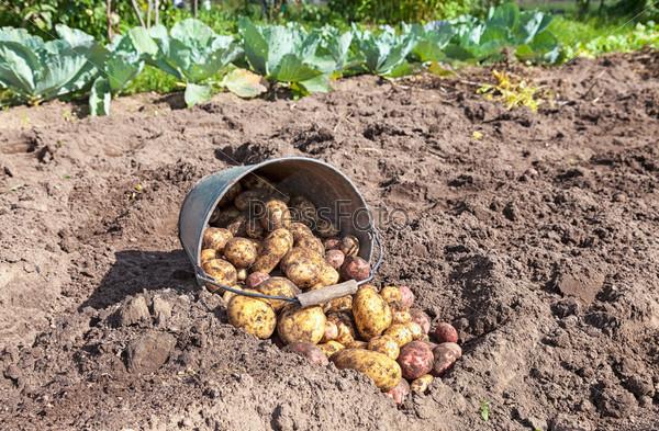 Фотография на тему Свежий картофель в поле в Новгородской области России