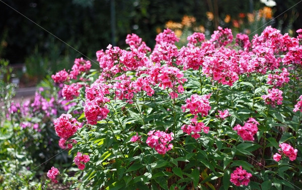 Фотография на тему Розовые садовые цветы