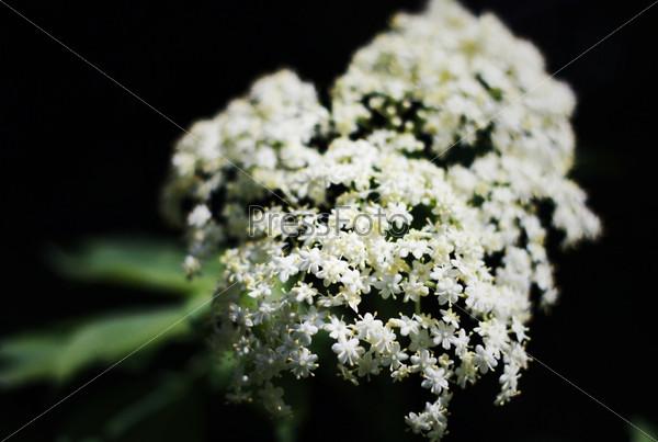 Белые мелкие цветы