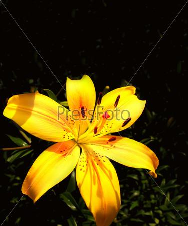 Желтые лилии на черном фоне