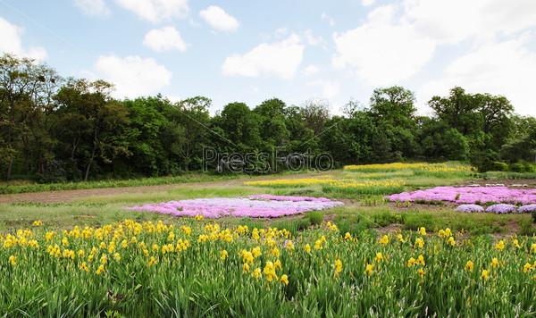 Фотография на тему Цветущие желтые ирисы