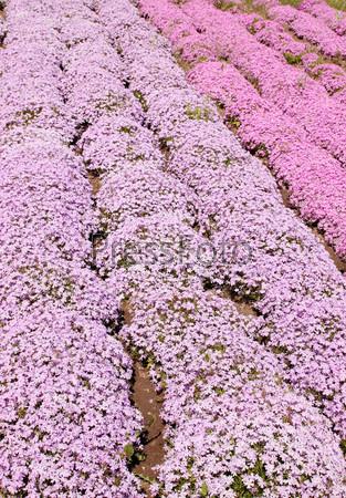 Розовые флоксы шиловидные