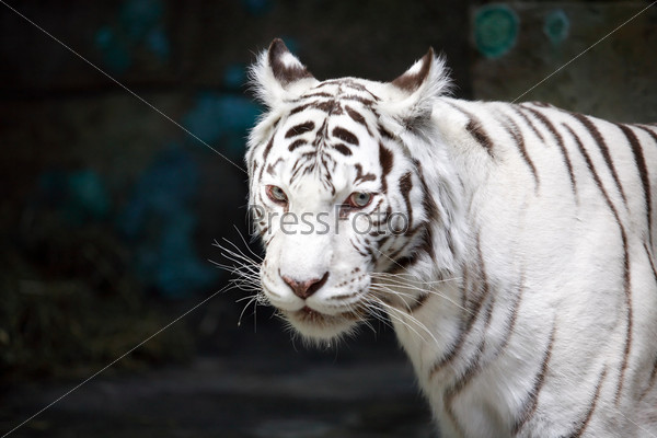 Фотография на тему Белый тигр