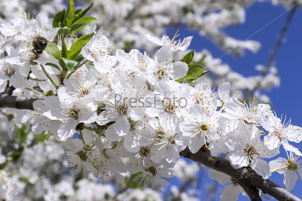 Фотография на тему Пчелы опыляют цветущее дерево