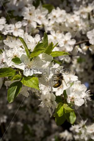 Пчелы опыляют цветущее дерево