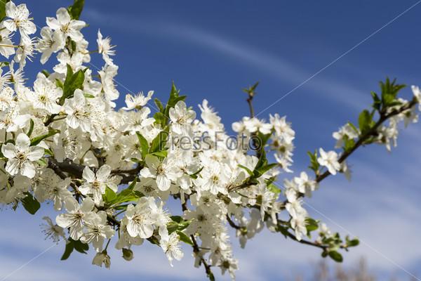 Ветка цветущего дерева