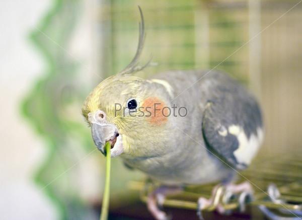 Попугай жует травинку