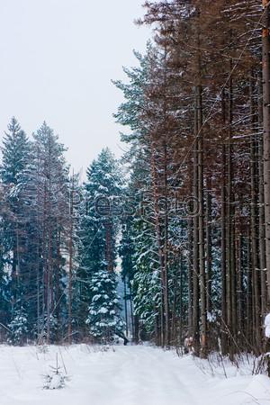 Заснеженная дорога в сосновом лесу зимой