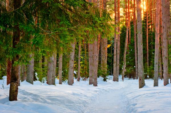 Фотография на тему Заснеженная тропа в хвойном лесу зимой