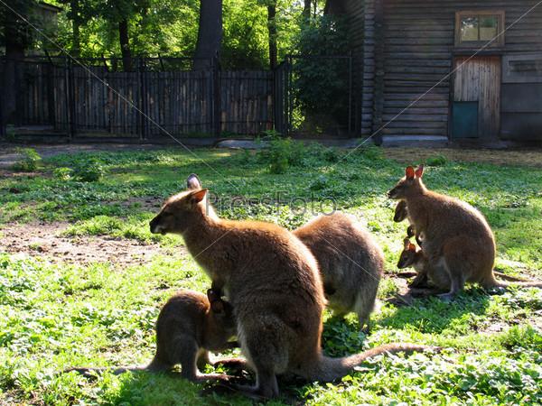 Фотография на тему Кенгуру в городском зоопарке