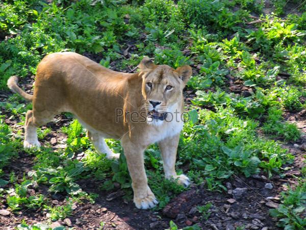 Лев в городском зоопарке