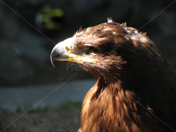 Фотография на тему Орел в городском зоопарке
