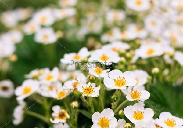 Фотография на тему Цветы клубники