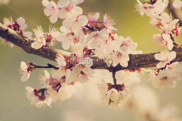 Розовая цветущая вишня