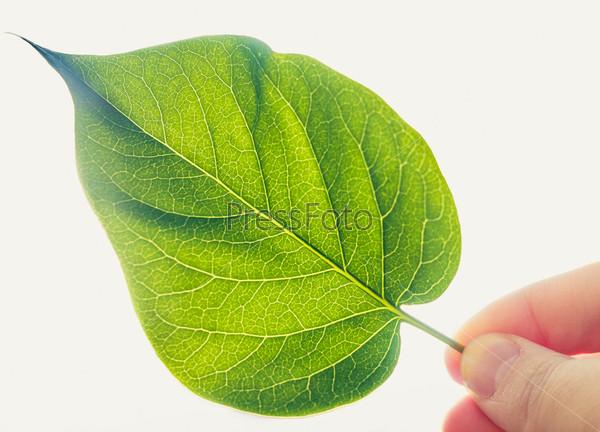 Зеленый лист, изолированный на белом фоне