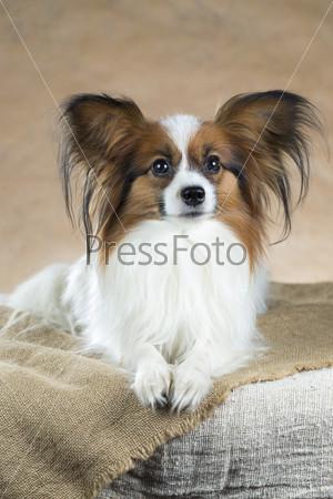 Портрет собаки породы папильон