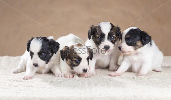 Четыре щенка папильона