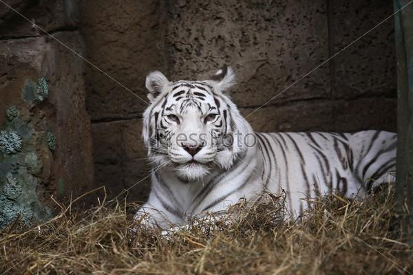 Фотография на тему Белый тигр в зоопарке