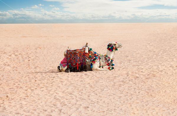Верблюд отдыхает в пустыне