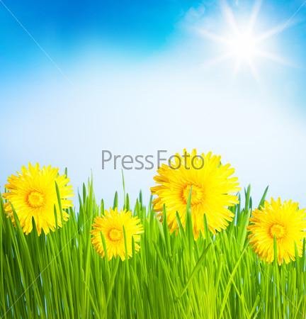 Одуванчики на весеннем газоне