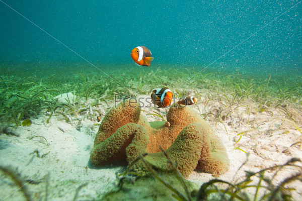 Фотография на тему Семья рыб-клоунов на песчаном дне
