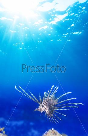 Крылатка в голубой воде