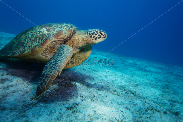 Огромная морская черепаха в заливе