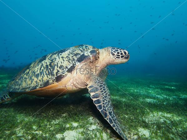 Фотография на тему Черепаха на дне с водорослями