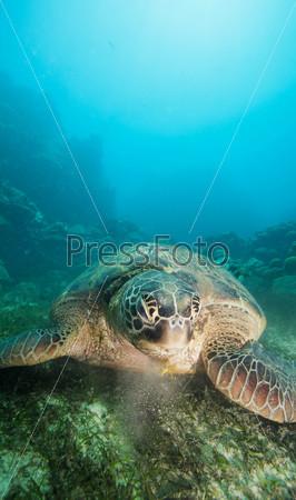 Фотография на тему Черепаха ест водоросли