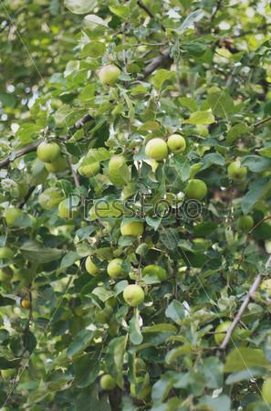 Зеленые яблоки на дереве