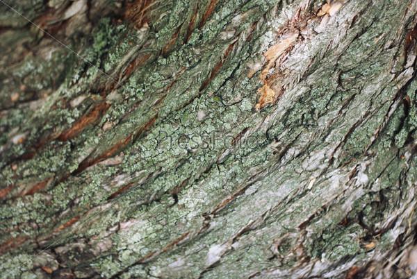 Фотография на тему Кора дерева