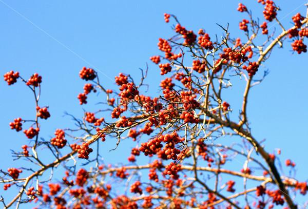 Фотография на тему Ветка с красными ягодами