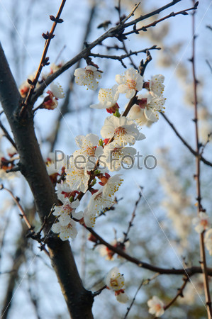 Цветок абрикоса