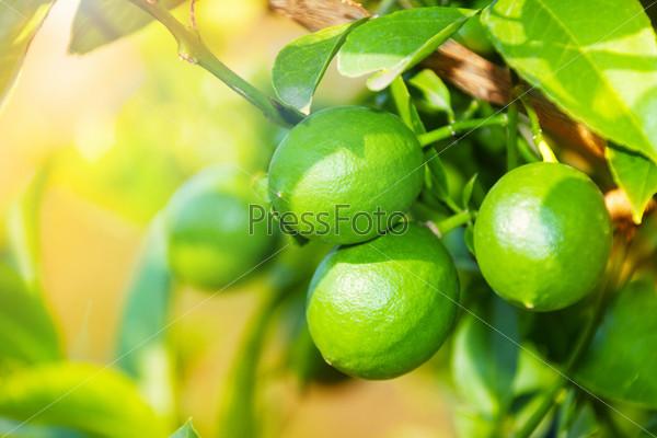 Фотография на тему Зеленые лимоны крупным планом