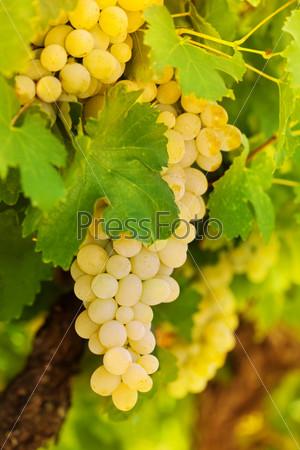 Красивый букет из белого винограда