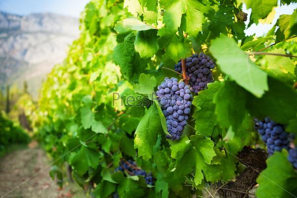 Спелый сочный виноград растет в долине