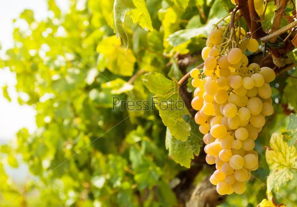 Фотография на тему Урожай сладкого винограда