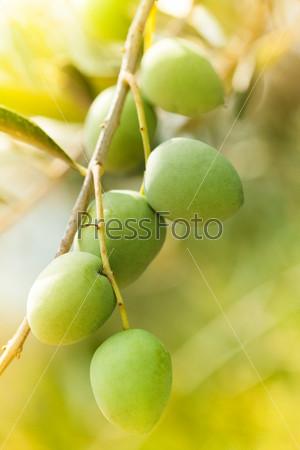 Ветка с оливками в солнечных лучах