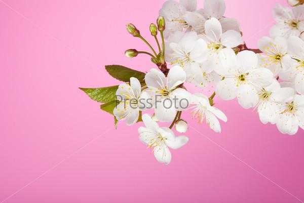 Цветущее вишневое дерево на розовом фоне