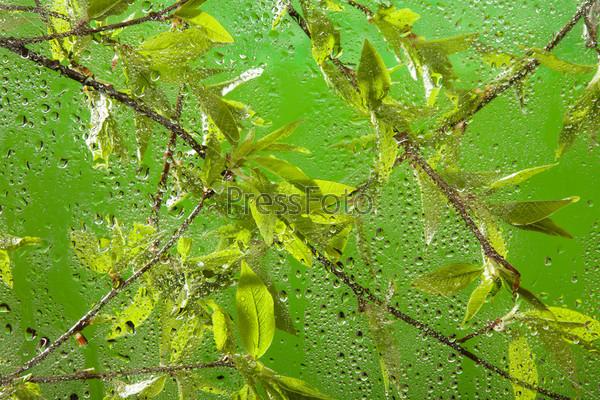 Фотография на тему Ветка с молодыми листьями после дождя