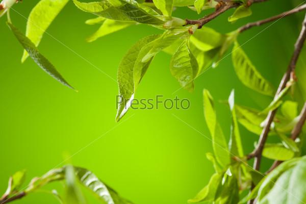 Веточки с весенними листьями