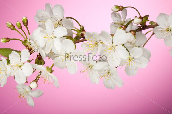 Крупный план цветущей вишни