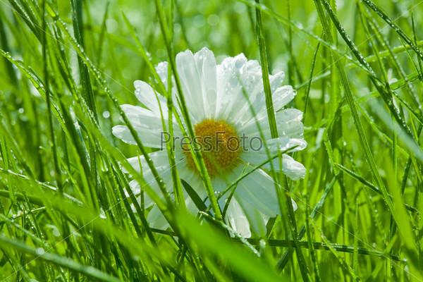Ромашка крупным планом в траве